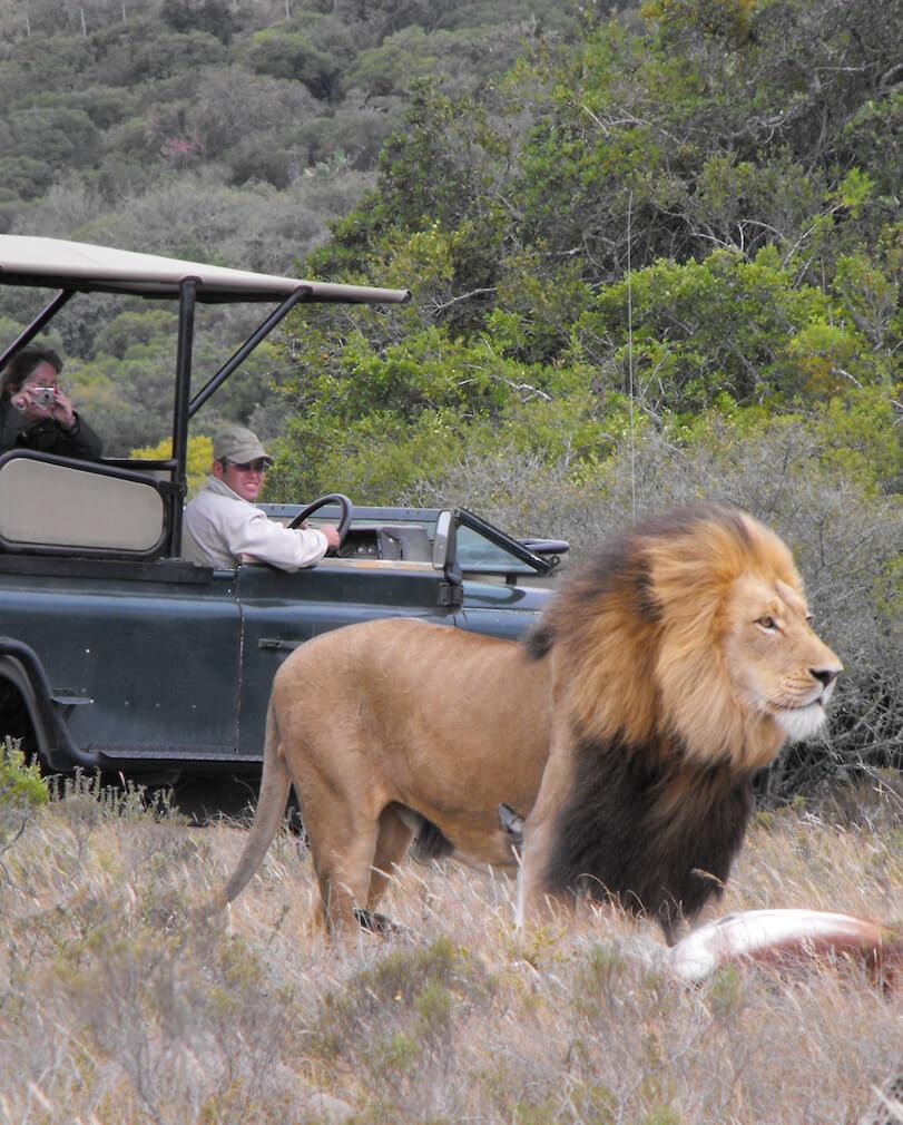 Safari avec un lion en Afrique du sud